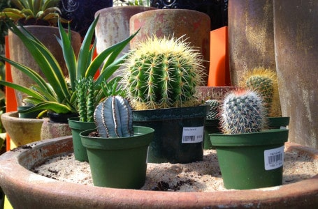 Cacti indoors – how to take care of them?