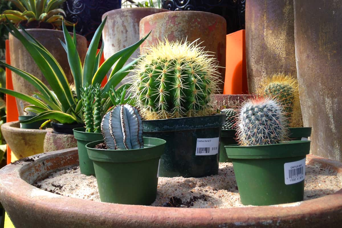 cacti indoors how to take care of them - Cacti indoors - how to take care of them?
