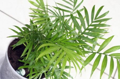 Chamedora – a refined plant for your home.