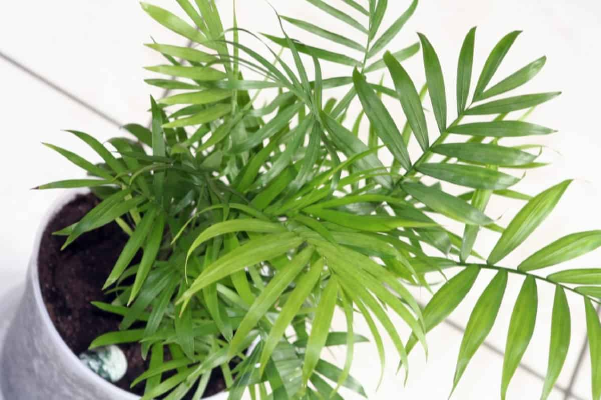 chamedora a refined plant for your home - Chamedora - a refined plant for your home.